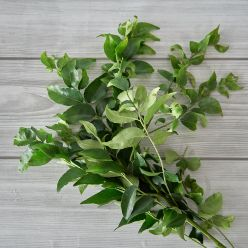 CURRY LEAVES (KADI PATTA)
